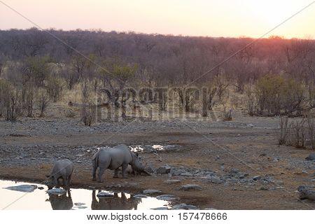 Rare Black Rhinos Drinking From Waterhole At Sunset. Wildlife Safari In Etosha National Park, The Ma