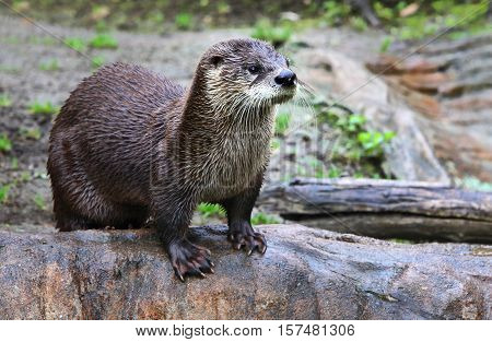 Brown otter looking away from the camera. Otter on a rock in the wilderness looking forward.