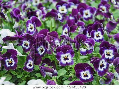 Flowering viola in a greenhouse in the Netherlands.