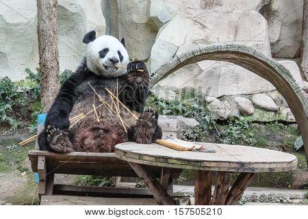 Chiang Mai, Thailand - July 23, 2011: a Giant Panda, Ailuropoda melanoleuca, eating bamboo in Chiang Mai Zoo. front view.
