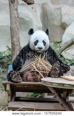 Chiang Mai, Thailand - July 23, 2011: close up of Giant Panda, Ailuropoda melanoleuca, eating bamboo in Chiang Mai Zoo, the first and only zoo in Northern Thailand.