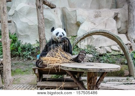 Chiang Mai, Thailand - July 23, 2011: Giant Panda, Ailuropoda melanoleuca, eating bamboo in Chiang Mai Zoo, the first and only zoo in Northern Thailand. Front view.
