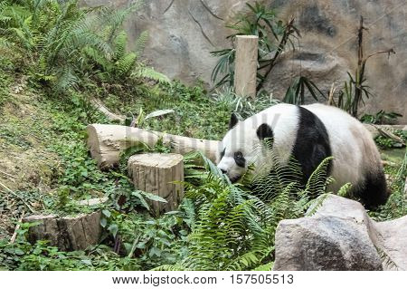 Chiang Mai, Thailand - July 23, 2011: funny Giant Panda, Ailuropoda melanoleuca, in Chiang Mai Zoo, the first and only zoo in Northern Thailand.