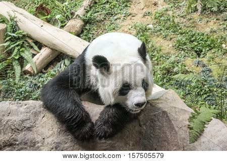 Chiang Mai, Thailand - July 23, 2011: portrait of Giant Panda, Ailuropoda melanoleuca, resting on a rocks. Chiang Mai Zoo, the first and only zoo in Northern Thailand.