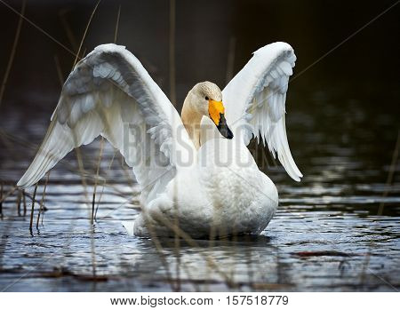 Beautiful whooper swan photographed while opening up the white wings