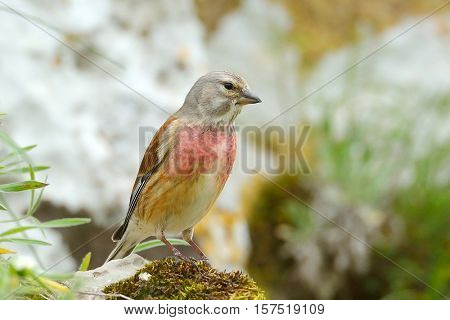 The Common Linnet in natural habitat (Carduelis cannabina)