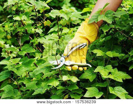 Hand with green pruner in the garden. Closeup.