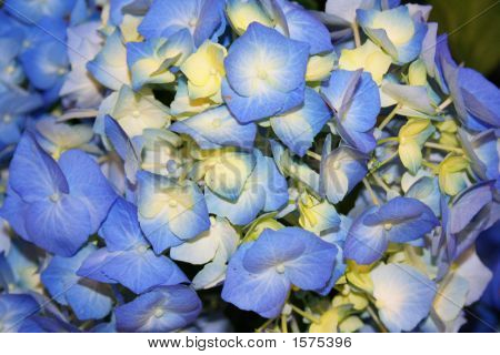 Beautiful Blue Hydrangea Fowers