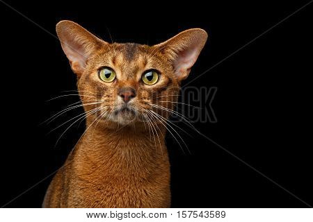Closeup head of Purebred abyssinian cat in front portrait isolated on black background