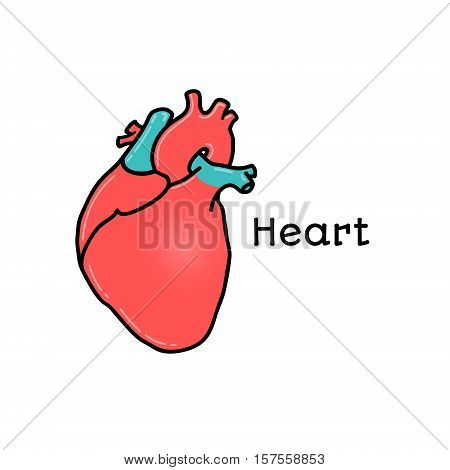 Human heart, anatomical vector illustration isolated on white background. Healthy human heart, abdominal organ, anatomical illustration, physiology, healthcare