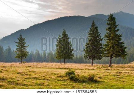 Five spruce trees on the pasture high up in the Carpathian mountains against the mountain backdrop