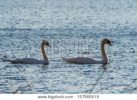 two swans swim on the lake next to each other, autumn evening, sunny, a couple of birds,