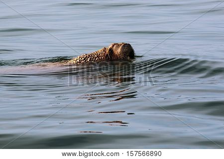 old walrus with one Tusk floating on a quiet sea