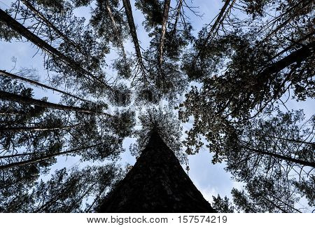 Shot of tall trees framing the sky in the middle. Pine trees tops vertical on blue sky background. The fall and pine trees tops vertical on blue sky. Pine forest view from below, the high tall pines