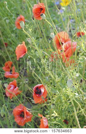 The symbolism of the Poppy varies greatly from country to country, but most of them share at least one or two common meanings for this particular flower.