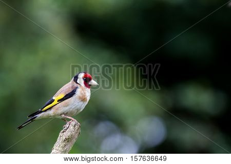Goldfinch (Carduelis Carduelis) perched on Isolated Branch