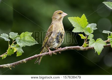 Greenfinch (Carduelis Chloris) perched on leafy branch