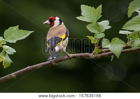Goldfinch (Carduelis Carduelis) on branch facing left