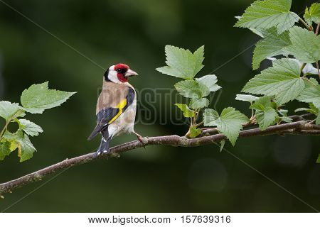 Goldfinch (Cardulis Carduelis) on branch facing right