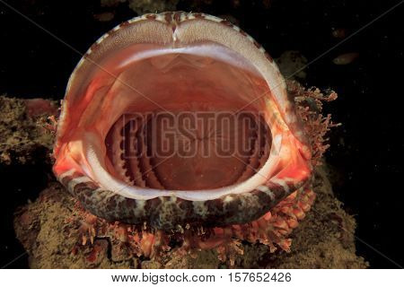 Fish mouth: Scorpionfish yawning