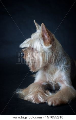 Yorkshire terrier on a dark blue background after shearing