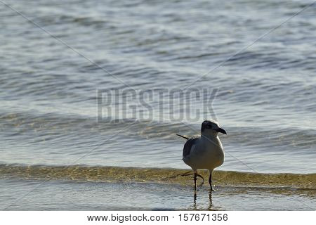 Laughing Gull wading in the Gulf of Mexico.