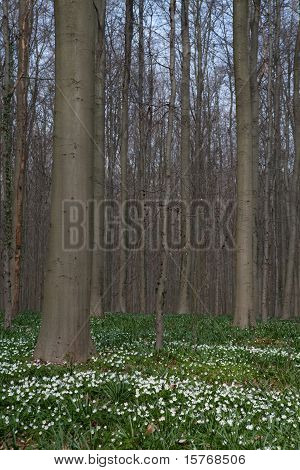 Wood Anemone Spring Forest