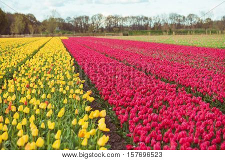 Yellow and red tulips fields in the Netherlands