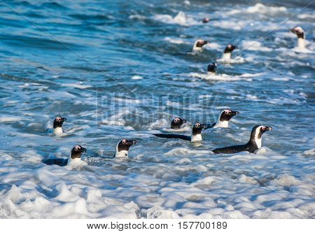African Penguins Swim In The Blue Water Of The Ocean And Foam Of The Surf.african Penguin (spheniscu