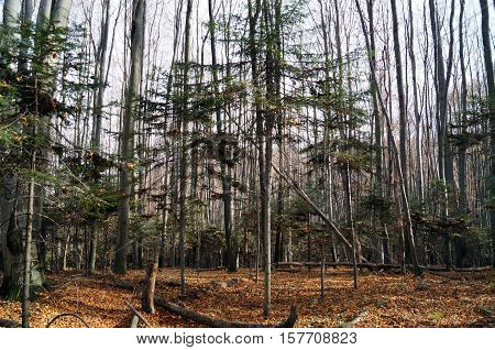 Forest of young pine trees and tall deciduous trees in autumn day