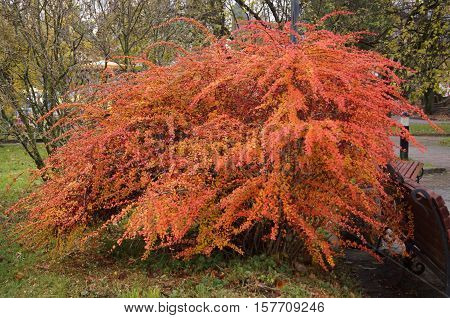 Barberry shrub with red fruits and yellow and red leaves in the park