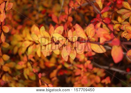 Barberry branch with red fruits and pink and yellow leaves on the bush