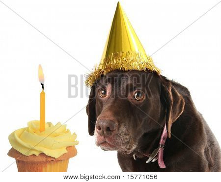 Old labrador retriever wearing a birthday hat with a cupcake