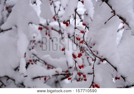 Branch with red berries of barberry covered with white snow