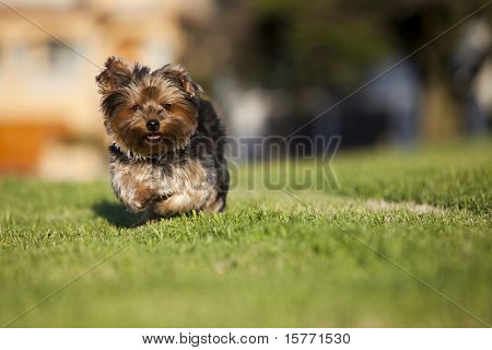 Small puppy running on the grass