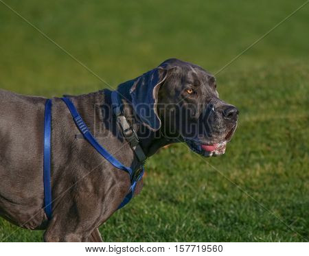 a huge great dane drooling in a park enjoying the outdoors on a beautiful summer day