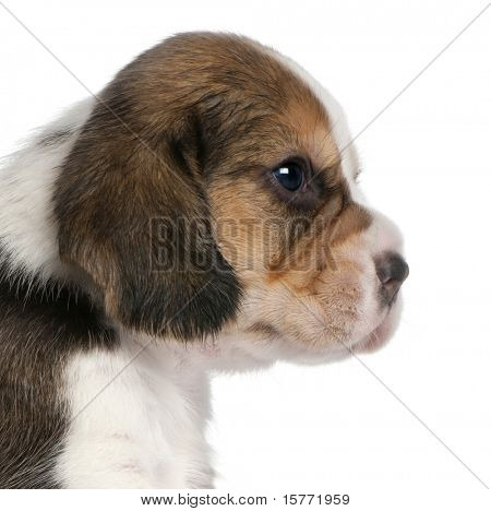 close up of Beagle Puppy, 1 Monat alt, an white background