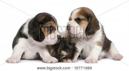 Two Beagle Puppies, 1 month old, and Peruvian guinea pig, 6 months old, in front of white background
