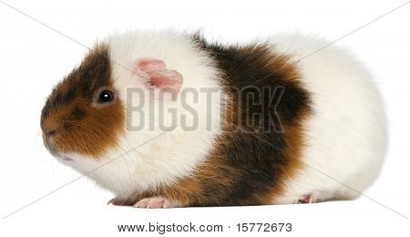 Teddy guinea pig, 9 months old, in front of white background