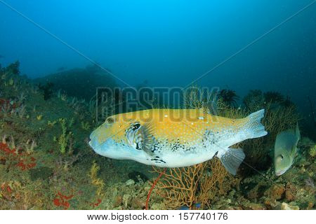 Puffer fish coral reef and sweetlips fish