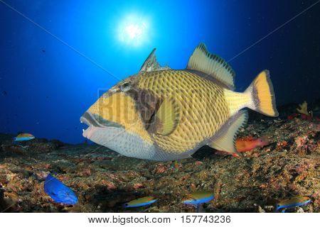 Titan Triggerfish fish on reef