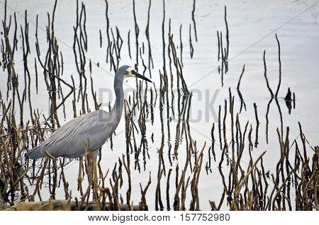 Australian White-faced Heron, Egretta novaehollandiae, wading through reeds and aerial mangrove roots on a river mudflat