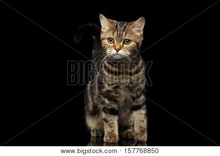 Tabby Scottish Kitten, funny bent tail and Looks Curious on Isolated black background