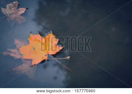 Maple orange autumn leaf in rain water puddle