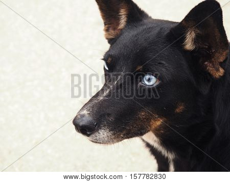 Cute mixed breed dog black with blue eyes