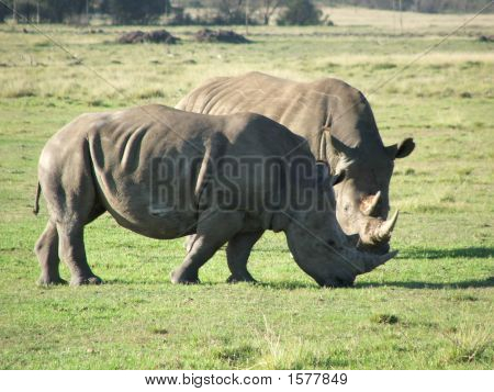 Mr And Mrs Rhino