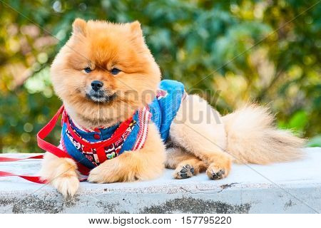 Cute orange color spitz in costume on the green trees background