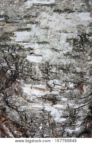 Birch Bark Texture As Abstract Background