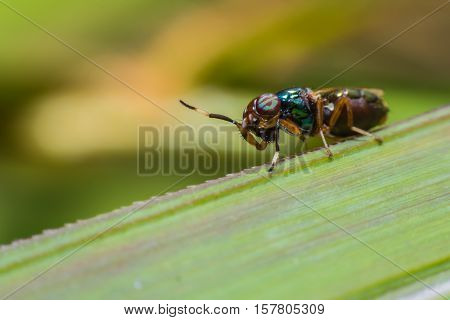 Close up a fly tabanus (Hybornitra tarandina) soft focus macro view