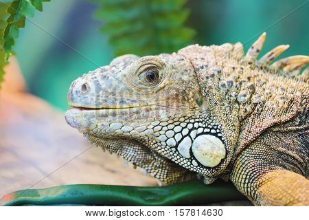 Lizard looking close up animal portrait photo